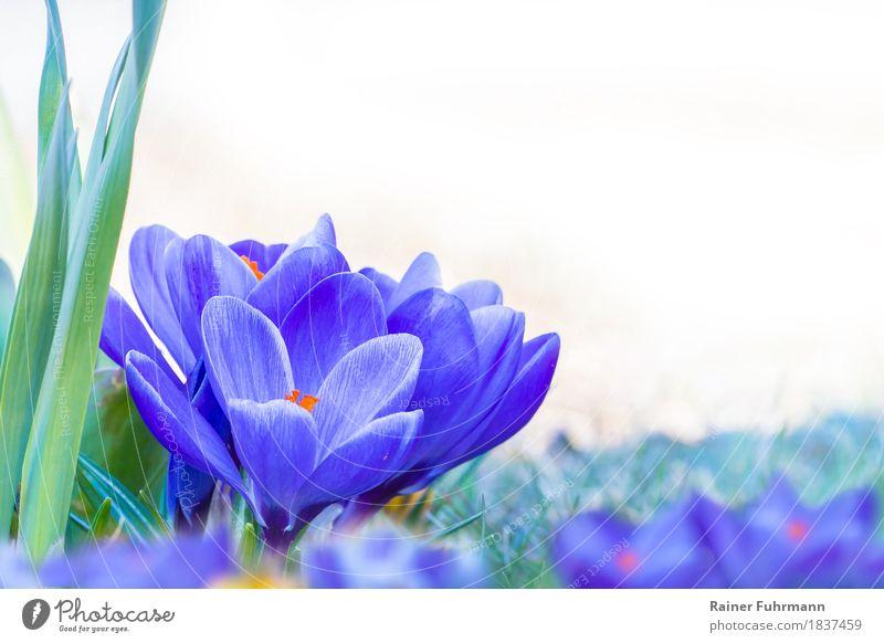 """freigestellte blühende, blaue Krokusse Umwelt Natur Pflanze Frühling Blüte Park Wiese Freude Glück Fröhlichkeit """"Krokus Ostern Blüten Freisteller freigestellt"""""""