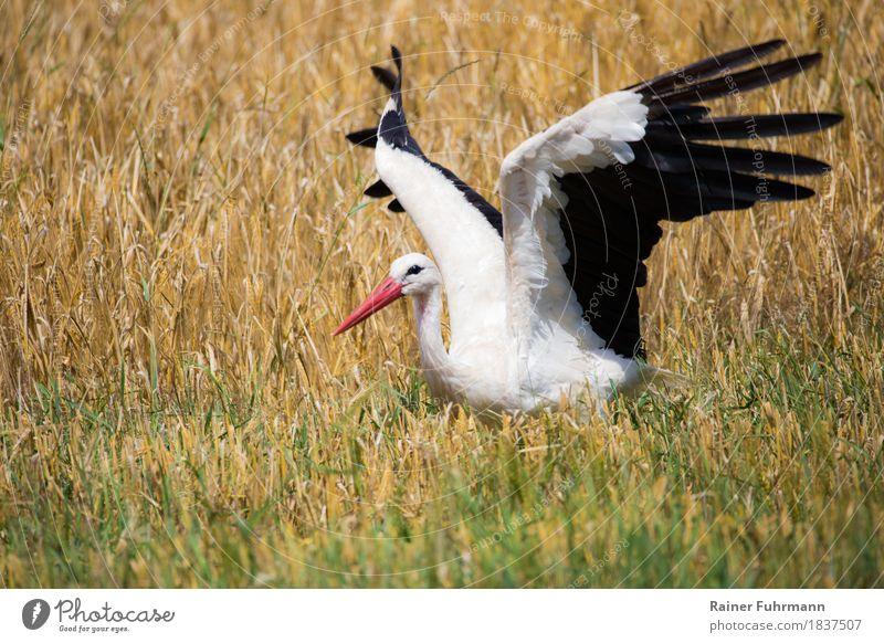 """ein flatternder Storch in einem Kornfeld Natur Tier Sommer Schönes Wetter Feld Wildtier """"Storch Weißstorch"""" 1 """"flattern Ernte fressen September"""" Farbfoto"""
