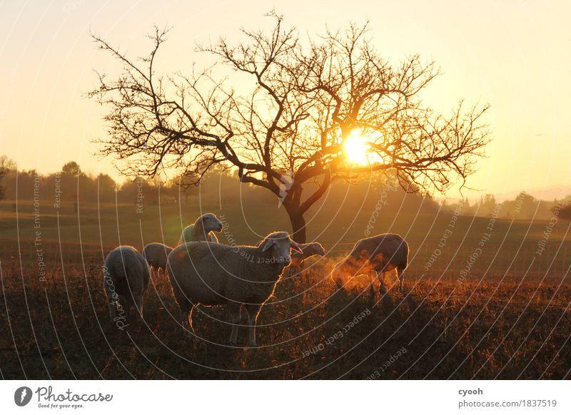 Schafidylle Natur Landschaft Wiese Nutztier Herde atmen leuchten dunkel natürlich weich Zufriedenheit Lebensfreude Einsamkeit Energie Freiheit Freizeit & Hobby