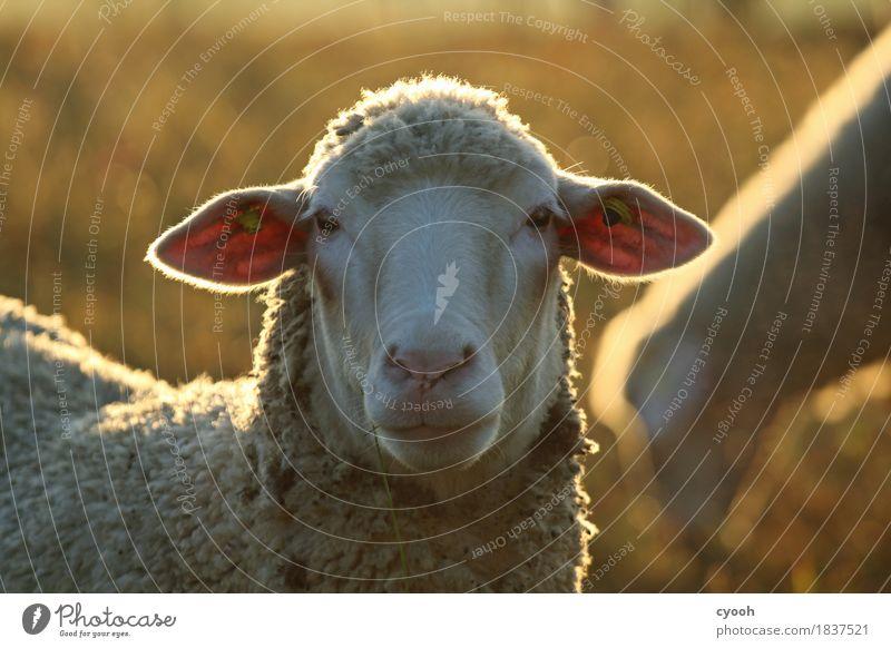 Schafportrait Natur Nutztier Tiergesicht 1 Blick Freundlichkeit weich weiß Gelassenheit ruhig Schüchternheit Idylle Leben Stimmung sanft Landwirtschaft
