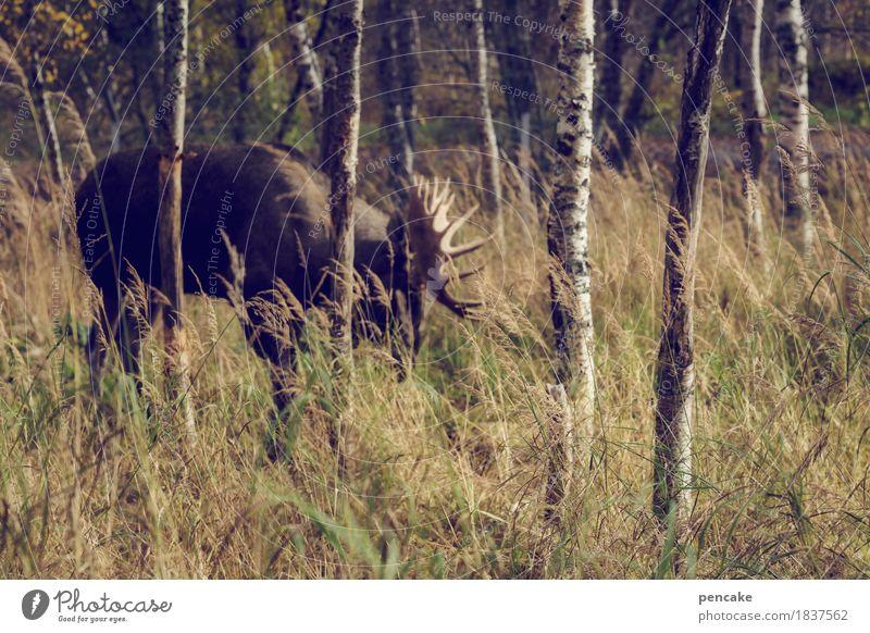 elchtest Herbst Gras Wald Tier Wildtier Fressen Elch Elchbulle Birkenwald Norwegen Skandinavien Horn Schaufel Farbfoto Gedeckte Farben Außenaufnahme