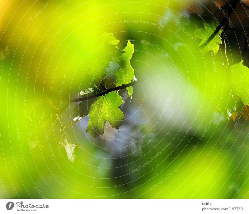 spätsommerlicher Durchblick Himmel grün Baum Pflanze Sommer Farbe Wald Erholung Umwelt Gefühle Holz Wärme Kraft natürlich ästhetisch leuchten