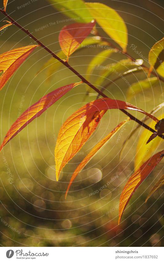 herbstlich(t) Natur Sonne Herbst Schönes Wetter Pflanze Sträucher Blatt Garten leuchten grün orange Wärme Stimmung Farbfoto Außenaufnahme Nahaufnahme