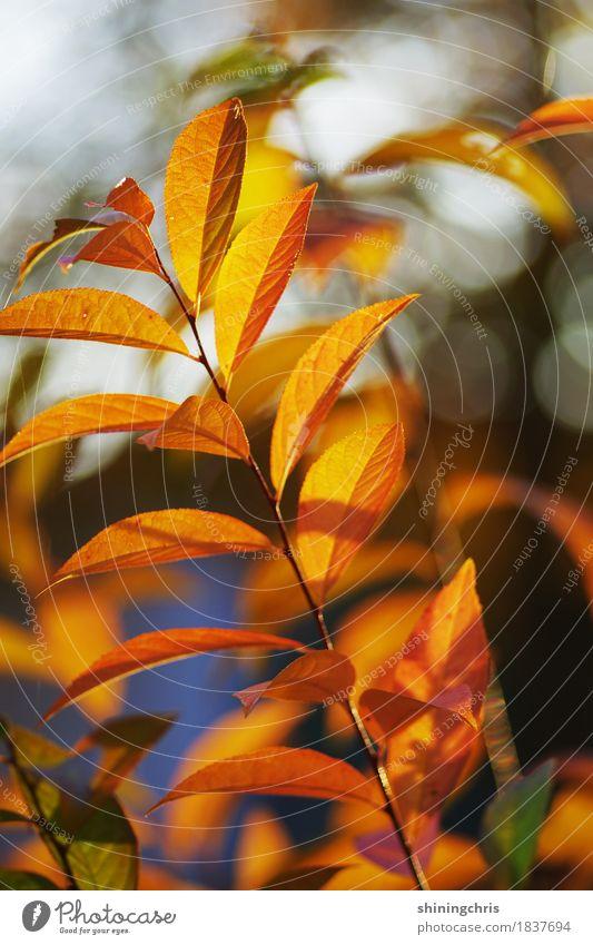 herbst am stil Natur Pflanze Blatt Wärme Herbst Garten orange leuchten Sträucher Schönes Wetter