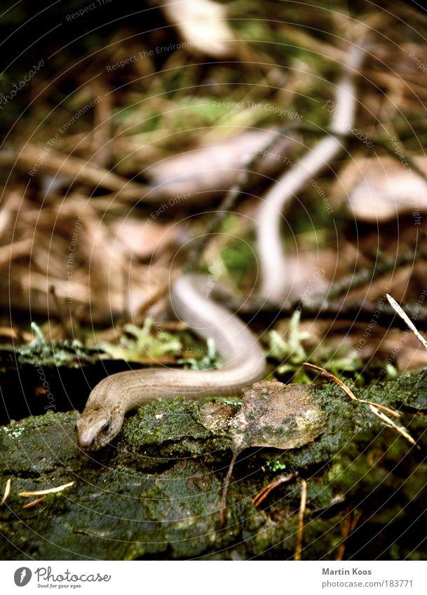 anguis fragilis [oder einfach: blindschleiche] Natur Pflanze Tier Blatt kalt klein braun Erde glänzend nass weich Tiergesicht lang Baumstamm verstecken feucht