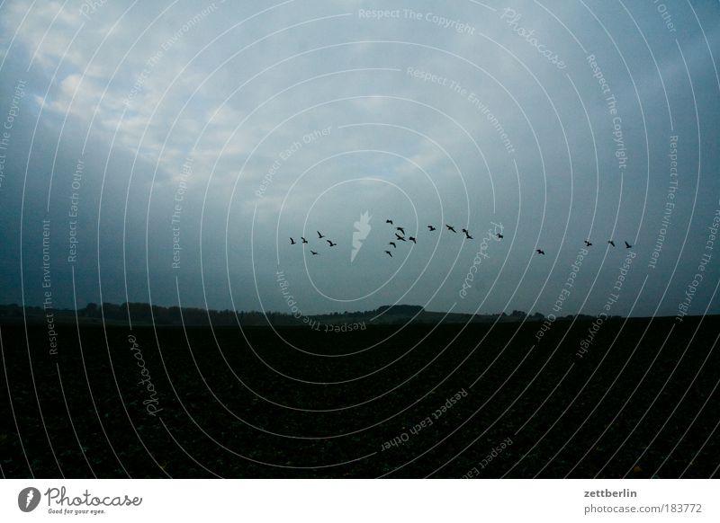 Fliegerberg Feld Landwirtschaft Herbst November Vogel Wildgans Zugvogel fliegen Luftverkehr Abflug Abheben Dämmerung Abend Wolken Wolkendecke trist Traurigkeit