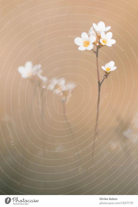 Knöllchen-Steinbrech (Saxifraga granulata) - Insel Mön Natur Pflanze weiß Blume Strand Blüte Innenarchitektur Frühling Küste Stil braun Design Dekoration & Verzierung elegant Blühend Schönes Wetter