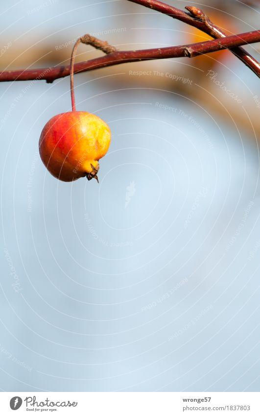 Winterapfel Frucht Apfel Pflanze Herbst Baum Nutzpflanze Obstbaum Apfelbaum hängen frisch Gesundheit sauer braun mehrfarbig gelb grau rot rotgelb reif vergessen