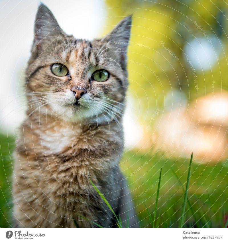 Nochmal miaauuu Natur Sommer Gras Garten Haustier Katze 1 Tier beobachten sitzen klein Neugier niedlich schön braun gelb grün Zufriedenheit Interesse erleben