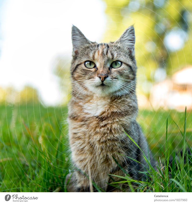 Miauuu Natur Pflanze Tier Sommer Schönes Wetter Baum Gras Garten Haustier Katze 1 beobachten sitzen schön niedlich braun gelb grün türkis weiß Wachsamkeit