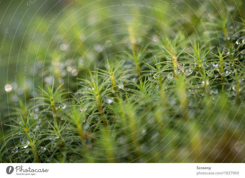 Moosfrisch #1 Natur Pflanze Wasser Wassertropfen Herbst Wald klein nass grün Tau Farbfoto Außenaufnahme Detailaufnahme Makroaufnahme Menschenleer Tag