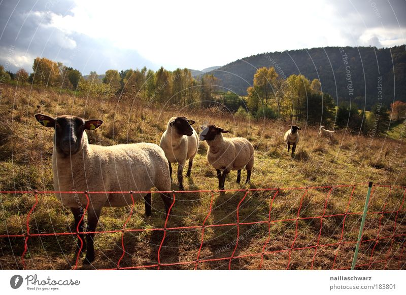 Schafweide Natur Himmel blau Pflanze schwarz Wolken Tier gelb Herbst Gras Landschaft braun Feld Wetter Umwelt gold