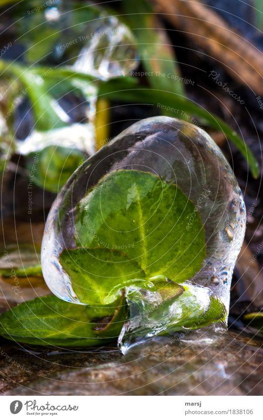 eiskalt erwischt Natur Winter Eis Frost Blatt Grünpflanze Wildpflanze frieren gefangen konserviert Eiskugel grün Steter Tropfen Farbfoto Gedeckte Farben
