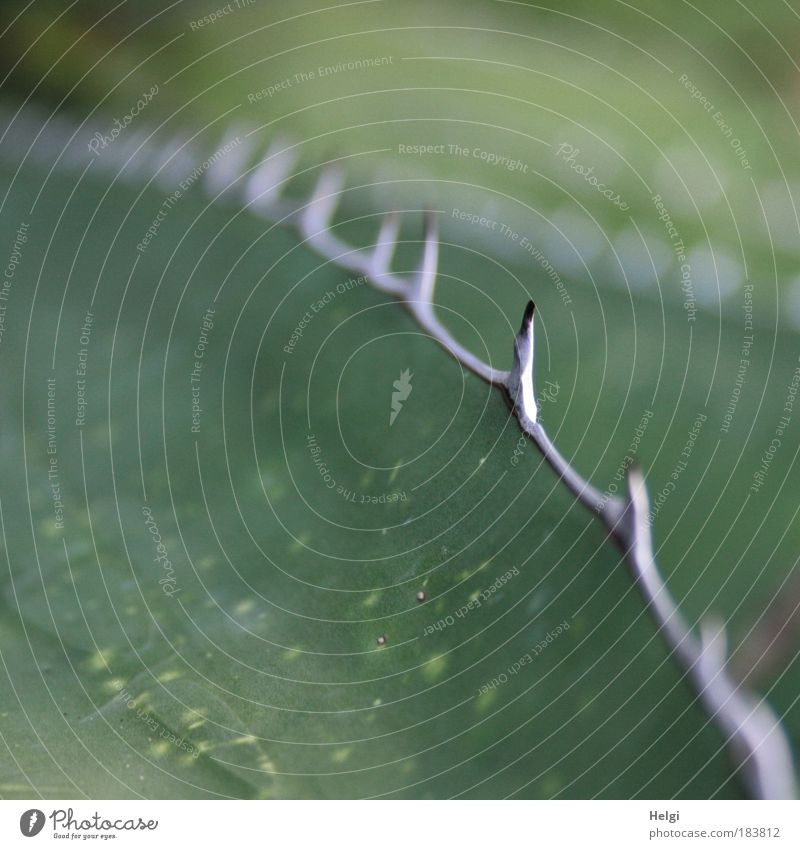 bestechend... Natur weiß grün Pflanze Sommer Blatt Garten Park klein ästhetisch Wachstum bedrohlich dünn Spitze natürlich Schmerz