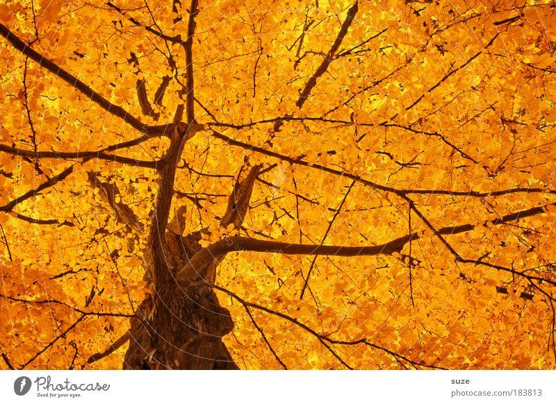 Goldkrone Natur schön Baum Blatt Herbst Gefühle Stimmung Umwelt gold Zeit mehrfarbig ästhetisch Sonnenlicht Jahreszeiten Baumstamm Baumkrone