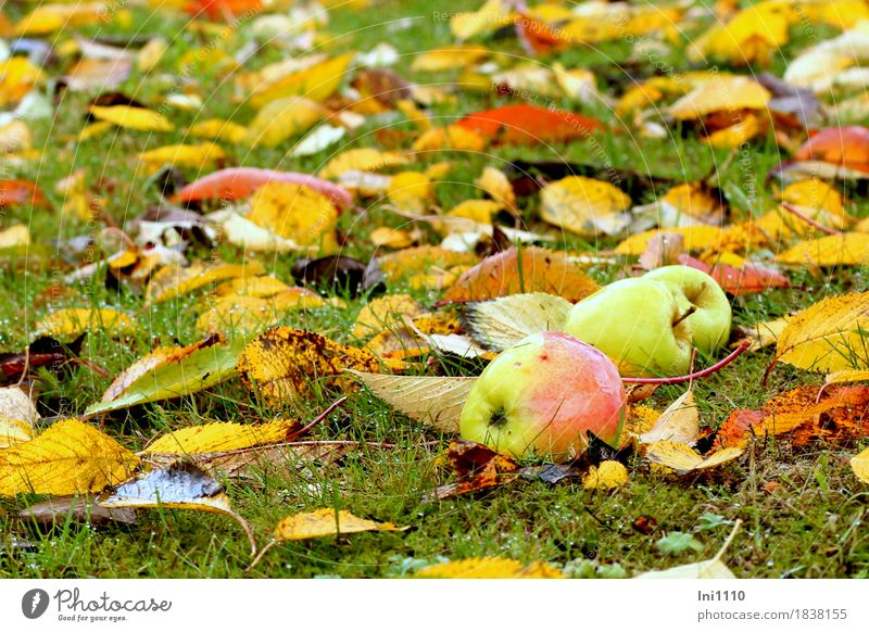 Fallobst Natur Pflanze Wassertropfen Herbst schlechtes Wetter Regen Blatt Garten Wiese frisch glänzend kalt nass rund braun mehrfarbig gelb gold grau grün