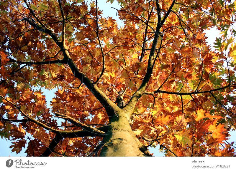 Krone Farbfoto Außenaufnahme Tag Licht Schatten Kontrast Sonnenlicht Froschperspektive Umwelt Natur Pflanze Herbst Schönes Wetter Baum Blatt gelb gold Ast