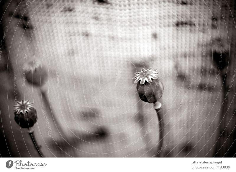 deja vu Natur schön weiß Pflanze ruhig schwarz dunkel kalt Umwelt Vergänglichkeit wild natürlich Mohn trocken verblüht dezent