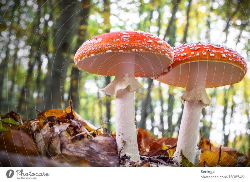 Noch mehr Fliegenpilze Umwelt Natur Landschaft Pflanze Tier Herbst Moos Park Wald Wachstum Pilz Pilzhut Pilzsucher Pilzkopf rot Farbfoto Gedeckte Farben