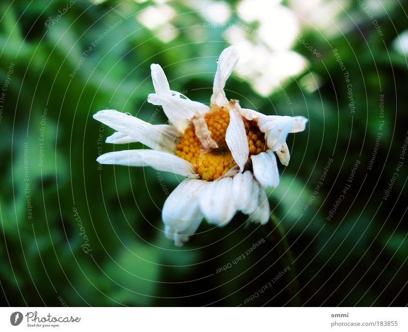 Sterben in schön Natur Herbst Pflanze Blume Blüte alt kaputt klein natürlich trist gelb grün weiß Traurigkeit Einsamkeit Erschöpfung unbeständig Vergänglichkeit
