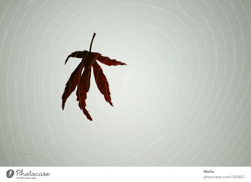 Fallen lassen Farbfoto Gedeckte Farben Außenaufnahme Menschenleer Textfreiraum rechts Tag Dämmerung Natur Pflanze Luft Himmel Herbst Blatt fallen fliegen hängen