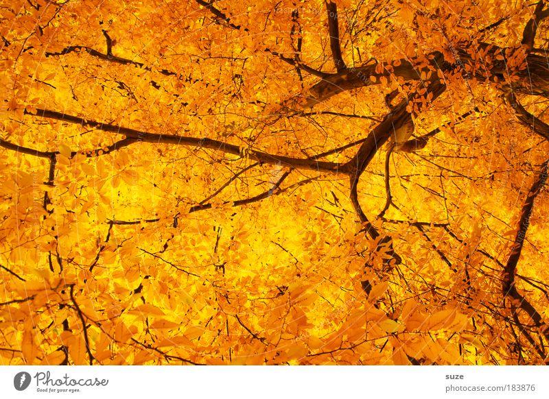 Blattgold Umwelt Natur Herbst Baum alt ästhetisch außergewöhnlich schön Gefühle Zeit Herbstlaub herbstlich Jahreszeiten Laubwald Färbung Baumkrone Baumstamm
