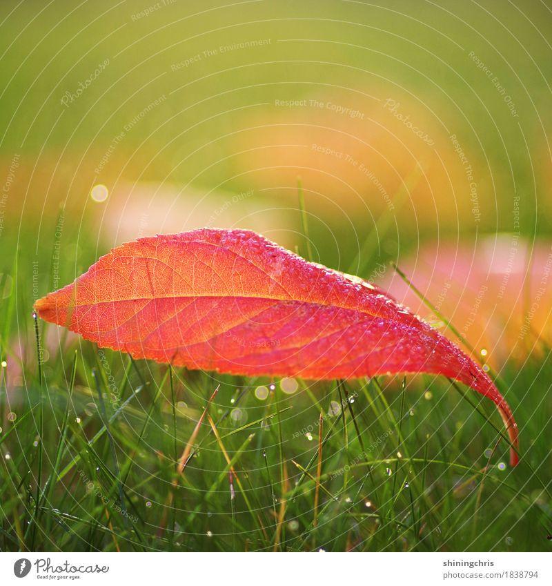 roter oktober Natur Wassertropfen Herbst Schönes Wetter Gras Blatt Wiese liegen Wärme grün Farbfoto Außenaufnahme Nahaufnahme Textfreiraum links