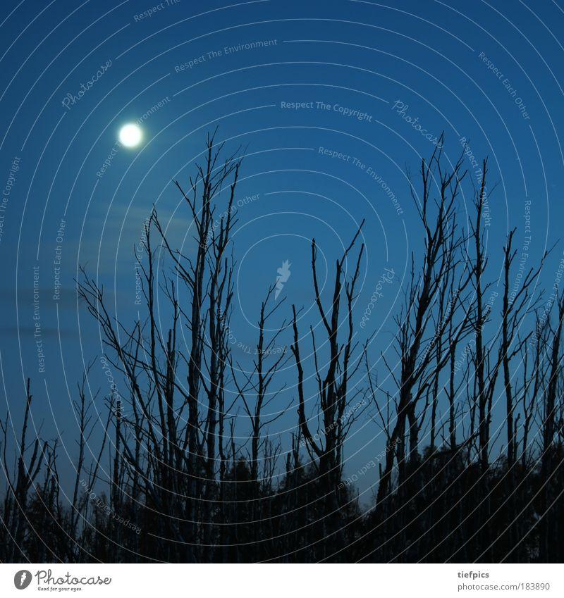 birkenwald. Textfreiraum oben Nacht Natur Himmel Wolken Mond Baum Wald Moor Sumpf blau birch forest tree Birke Mondschein Baumstumpf naturschutzgebiet