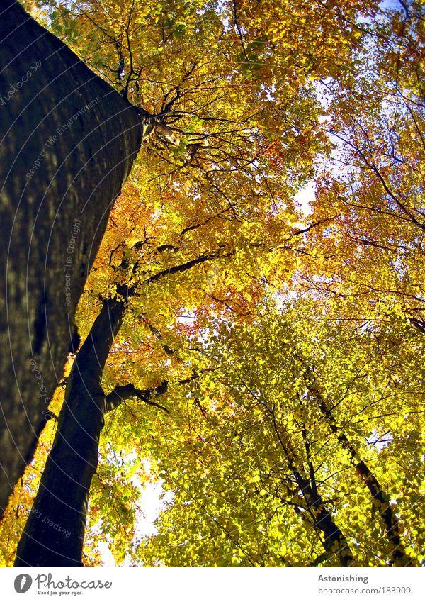 ein schräger Wald Umwelt Natur Pflanze Luft Herbst Wetter Schönes Wetter Baum Blatt Wachstum hoch braun gelb gold grün schwarz Ast Geäst Zweige u. Äste