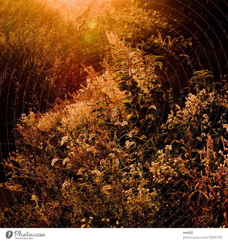 Spätsommerflirren Umwelt Natur Landschaft Pflanze Sommer Klima Schönes Wetter Wärme Sträucher Blatt Grünpflanze Wildpflanze Park Wiese Wald Idylle Artenreichtum