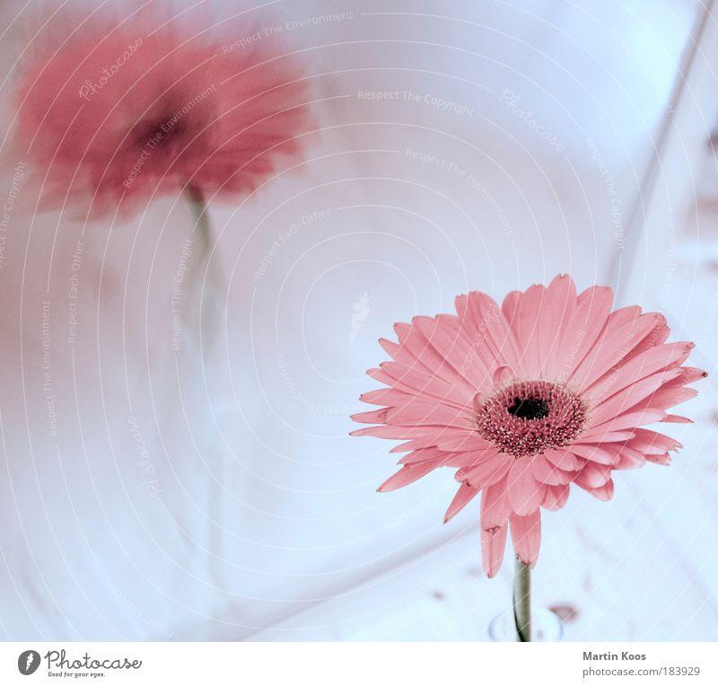 reflexion schön Pflanze Blume kalt Blüte hell rosa natürlich zart Spiegel Duft Gerbera stylen