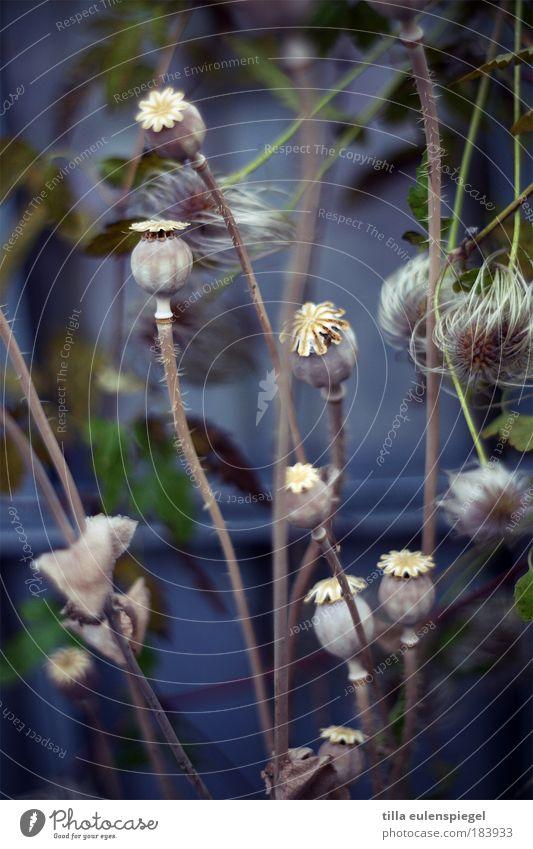 auf Wunsch eines einzelnen Herren.. Natur schön grün blau Pflanze ruhig Farbe Erholung Herbst natürlich Mohn durcheinander verblüht angenehm Farbenspiel