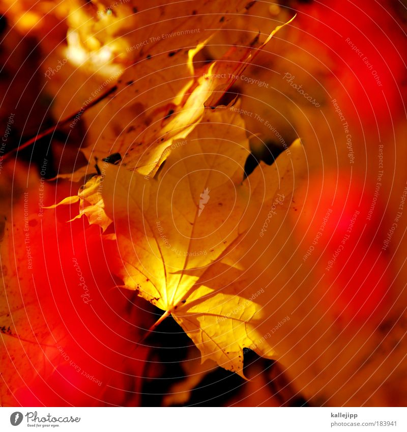 kalenderblatt Natur Baum rot Pflanze Blatt Umwelt Herbst Blüte Park Zeit Wetter Klima Ordnung Beeren Ahornblatt Biologie