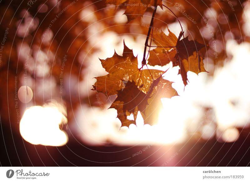 Herbst Natur Baum rot Blatt Wald träumen Park Sonnenuntergang Landschaft Sonnenstrahlen Zufriedenheit Gegenlicht Sonnenaufgang glänzend Umwelt