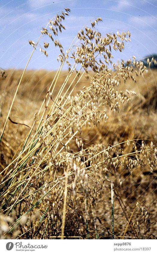 Weizen Feld Getreide Detailaufnahme