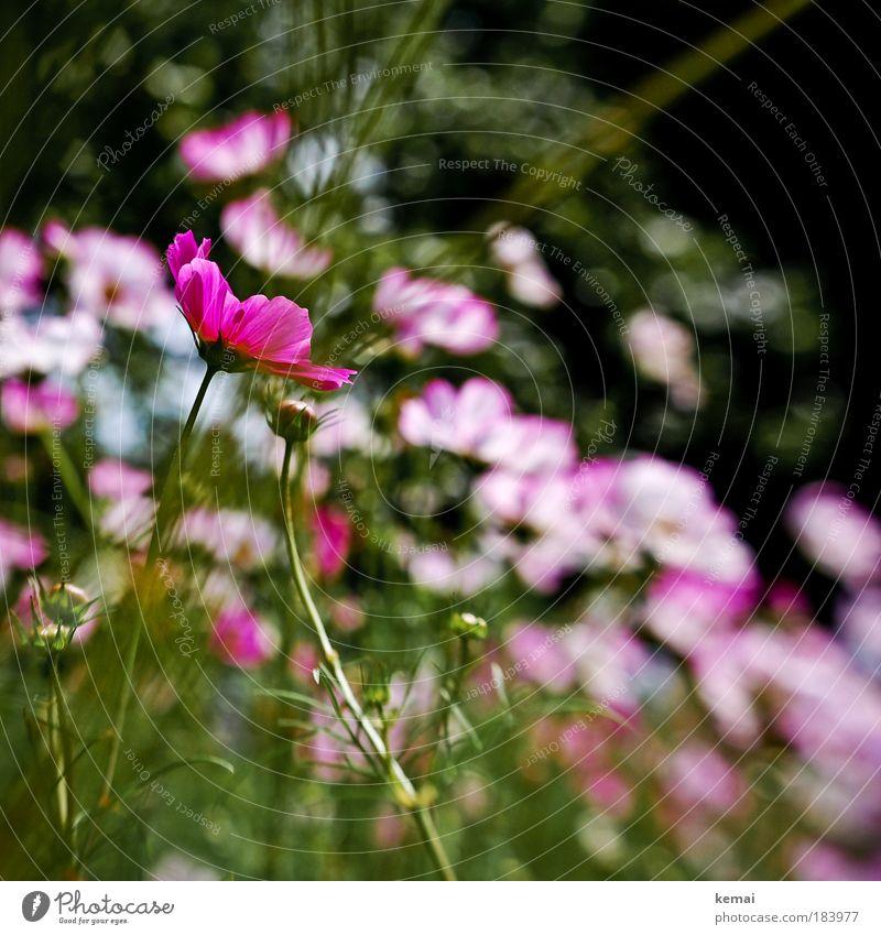 Damals, im Sommer, als es 30 Grad hatte Umwelt Natur Pflanze Schönes Wetter Blume Blüte Blütenknospen Park ästhetisch schön grün rosa Frühlingsgefühle elegant