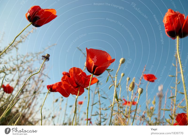Schöne rote Mohnblumen Sommer Garten Natur Landschaft Pflanze Himmel Sonnenlicht Frühling Blume Gras Blüte Wiese Wachstum natürlich wild blau grün weiß Farbe