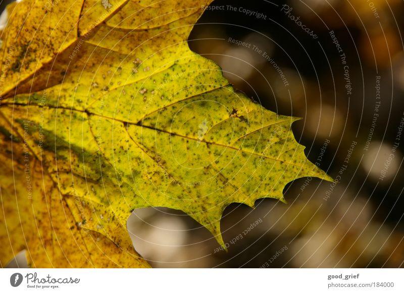 tsbreh Natur Baum grün Pflanze gelb Herbst Wiese Park Feld Design Umwelt einzigartig Surrealismus Gefäße Herbstlaub Ahorn