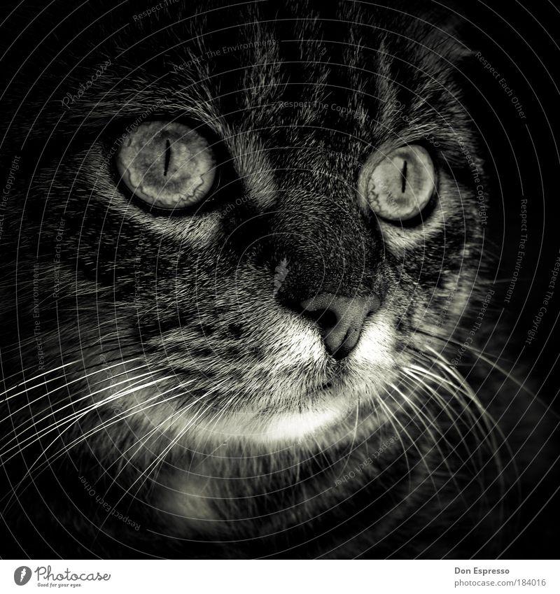 Elvis ruhig Tier dunkel Katze Gefühle grau Traurigkeit träumen Stimmung elegant Nase ästhetisch niedlich weich Tiergesicht Warmherzigkeit