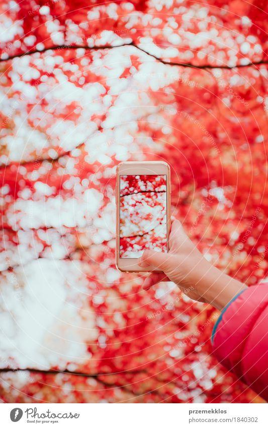 Ein Foto des leuchtenden roten herbstlichen Baums mit Smartphone machen Natur Farbe schön Hand Blatt Herbst Garten hell Park Fotografie Telefon Handy Bildschirm