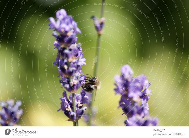 Hummel Farbfoto Außenaufnahme Nahaufnahme Makroaufnahme Textfreiraum rechts Sonnenlicht Unschärfe Zentralperspektive Tierporträt Biene 1 Blühend Duft fliegen