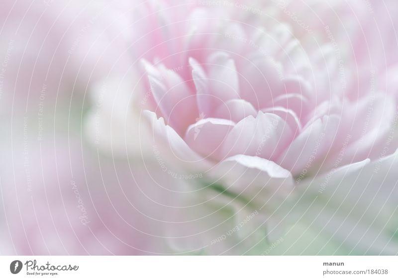 soft flower *350* Natur schön Pflanze Blume Erholung Herbst Frühling hell Park rosa Makroaufnahme elegant Design frisch Licht zart