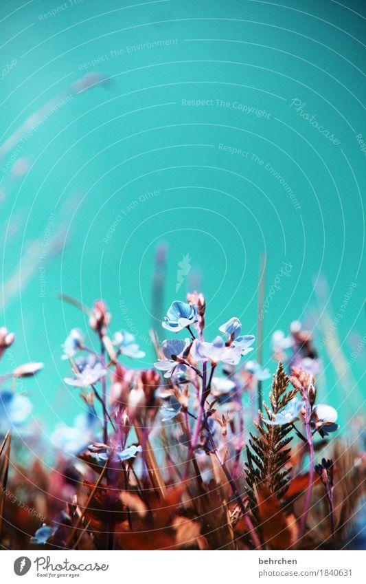 optimismus... Natur Pflanze Himmel Sommer Schönes Wetter Blume Gras Blatt Blüte Veronica Garten Park Wiese Feld Blühend Duft genießen verblüht Wachstum schön
