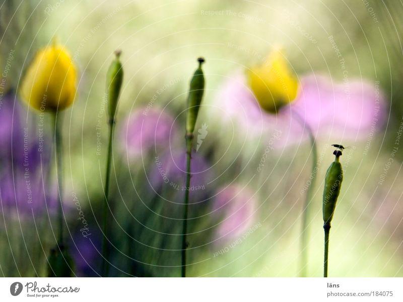 neulich im Garten Natur Blume Pflanze Blüte Wandel & Veränderung Insekt Stengel Mohn Schönes Wetter Käfer verblüht Schnittlauch Mohnblüte Unkraut Landeplatz