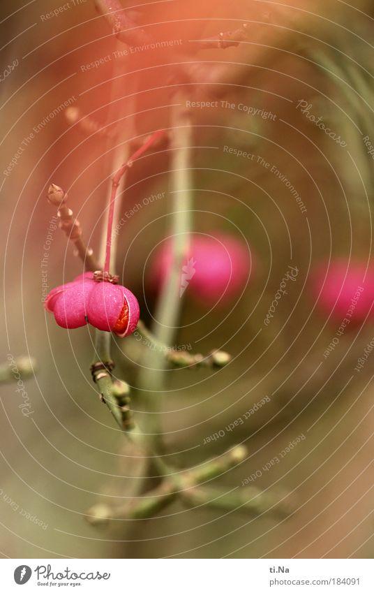 Pfaffenhütchen Natur Pflanze Umwelt Landschaft Herbst Park rosa Klima wild Wachstum Sträucher hängen Wildpflanze