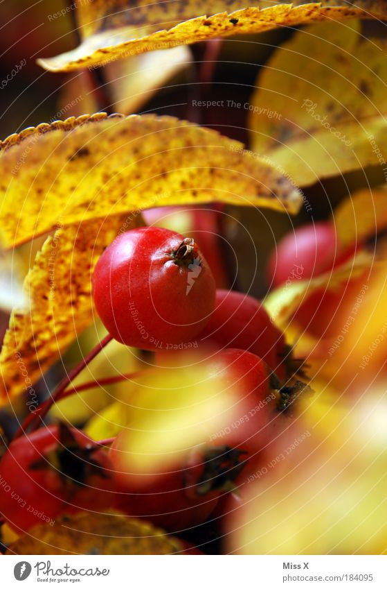 Mini-Apfel Natur Baum Pflanze Blatt gelb Ernährung Lebensmittel Herbst klein Park Wetter Frucht Klima süß Sträucher Idylle
