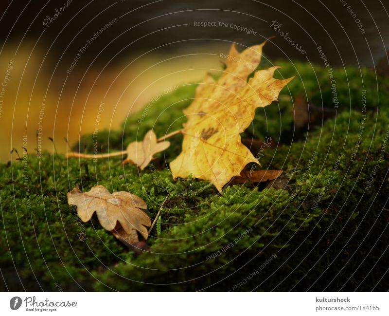 laub auf moosbett Farbfoto Außenaufnahme Detailaufnahme Schwache Tiefenschärfe Natur Herbst Regen Blatt braun gelb gold grün ruhig Tag