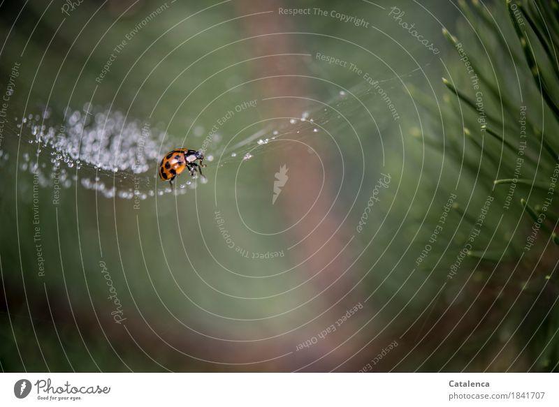 Entkommen Pflanze Tier Wassertropfen Herbst schlechtes Wetter Baum Kiefer Park Käfer Marienkäfer 1 Spinnennetz glänzend krabbeln bedrohlich Flüssigkeit braun