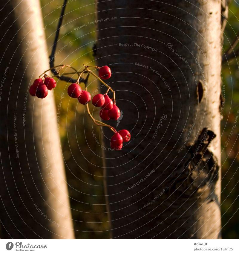 Vogelbeeren am Wegesrand Natur schön Baum Pflanze rot Herbst Holz Gesundheit Feld gold Schönes Wetter hängen dehydrieren Marmelade Nutzpflanze