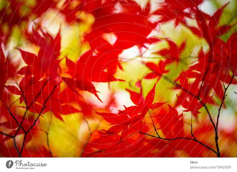 Farbspiel Herbst bunt Laub Japanischer Ahorn rot grün
